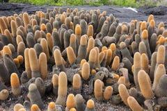 Lava cactus invading a lava field. Stock Photos