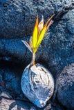 Lava e crescimento novo Imagens de Stock Royalty Free
