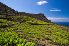 The lava fields of wine grapes stock photography