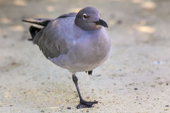 Lava Gull on Genovesa Island, Galapagos National Park, Ecuador Royalty Free Stock Photography