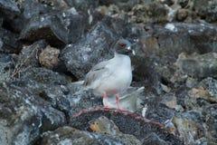 Lava gull (Leucophaeus fuliginosus) Stock Images
