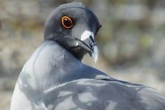 Lava gull (Leucophaeus fuliginosus) Stock Image