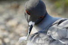 Lava gull (Leucophaeus fuliginosus) Royalty Free Stock Image