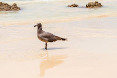 Lava Gull, Leucophaeus fuliginosus,Santa Cruz island in Galapag Royalty Free Stock Photography