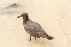 Lava Gull, Leucophaeus fuliginosus,Santa Cruz island in Galapag Stock Image