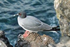 Lava gull (Leucophaeus fuliginosus) Stock Photography