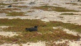 Lava gull nesting on a beach at isla genovesa, galapagos islands. A lava gull nests on a beach at isla genovesa in the galapagos islands, ecuador royalty free stock photo