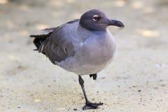 Lava Gull parco nazionale sull'isola di Genovesa, Galapagos, Ecuador immagine stock