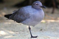 Lava Gull parco nazionale sull'isola di Genovesa, Galapagos, Ecuador fotografia stock libera da diritti
