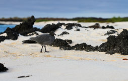 Lava Gull Stroll. Only 600-800 Lava Gulls exist across the globe, and this one stopped for a pit stop on the beautiful beach of Cerro Brujo, Galapagos Islands Royalty Free Stock Image