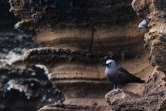 Lava Gull su roccia vulcanica fotografia stock libera da diritti