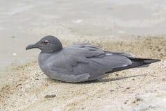 Lava Gull su una spiaggia dell'oceano immagini stock