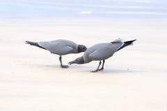Lava gulls, Isabela Island, Galapagos Stock Image