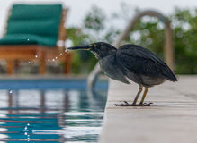 Lava Heron Drinking Stock Photos