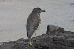 Lava heron, Galapagos Stock Photo