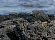 Lava heron Stock Photography