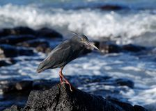 Lava heron Royalty Free Stock Images