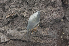 Lava Heron Poised a golpear foto de stock