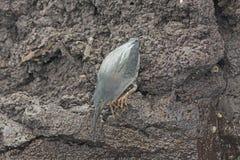 Lava Heron Poised a pegar Foto de archivo