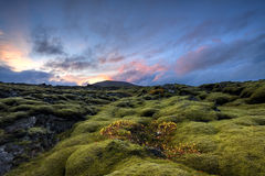Lava. Landscape cover of moss with autumn colors on small plants Royalty Free Stock Photo