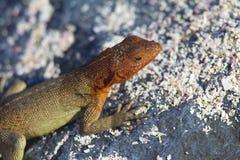 Lava Lizard. A hood lava lizard in sand Stock Photography