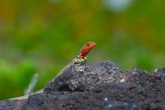 Lava lizard stock image