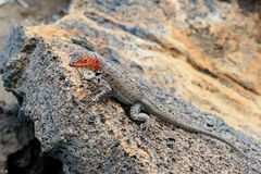 Lava-lizard Royalty Free Stock Image