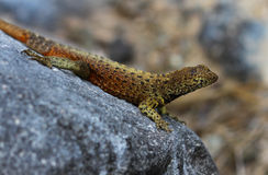 Lava Lizard Royalty Free Stock Images