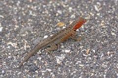 Lava Lizard en las Islas Galápagos Fotos de archivo libres de regalías