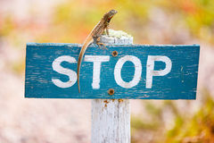 Lava lizard endemic to the Galapagos Islands. On a stop sign Royalty Free Stock Image