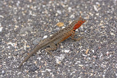 Lava Lizard in the Galapagos Royalty Free Stock Photos