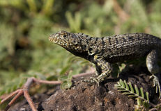 Lava Lizard - Galapagos Islands Stock Photography