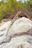 Lava lizard, Galapagos Islands, Ecuador. Lava lizard (Tropidurus spp.) on Santa Fe, Galapagos Islands, Ecuador Stock Images