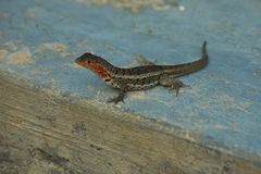 Lava Lizard in Galapagos Islands royalty free stock photos