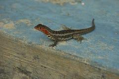 Lava Lizard in Galapagos Islands Royalty Free Stock Photos