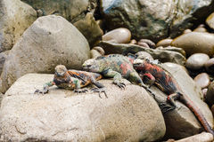 Lava lizard on Galapagos Islands Royalty Free Stock Photos
