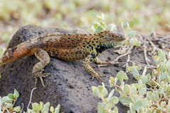Lava lizard on Galapagos Islands Royalty Free Stock Images