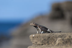 Lava Lizard Royalty Free Stock Image