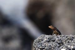 A Lava Lizard on lava rock Royalty Free Stock Image