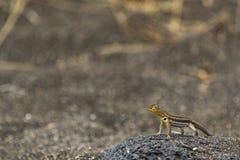 A Lava Lizard on lava rock Stock Photos
