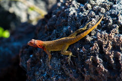 Lava Lizard Stock Photos