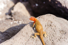 Lava lizard, Microlophus grayii Stock Photo