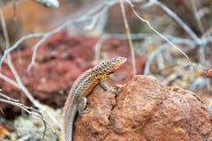 Lava Lizard on a Rock Stock Photo