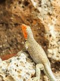 A lava lizard tropidurus in the galapagos islands isabela island royalty free stock photo