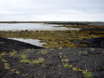 Lava rock and moss, Iceland. Moss and flowers growing on volcanic rock, Iceland Royalty Free Stock Images