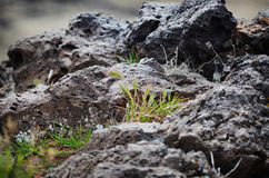 Lava Rock. Weed peaking through lava rock royalty free stock image