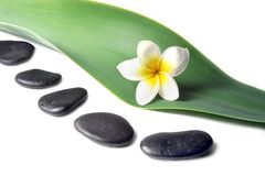 Lava Stones with frangipani flower on the Leaves. Lava Stones with frangipani (plumeria)  flower on the Leaves Royalty Free Stock Images