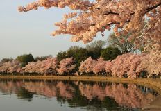 Lavabo de marea de las flores de cerezo fotografía de archivo