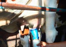 Lavado de la vaca completo antes de ordeñar la operación fotografía de archivo libre de regalías