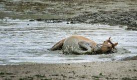 Lavado del caballo salvaje del lavabo de la arena Fotos de archivo libres de regalías